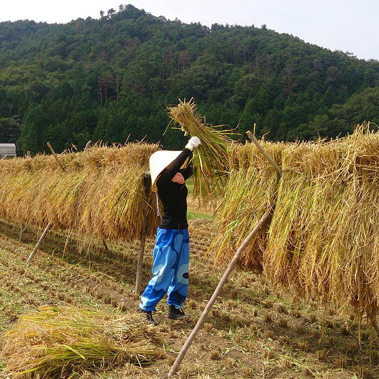 田楽米の稲刈りフェス